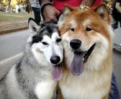 Dogs (Moiss Gaudio) Tags: malamute