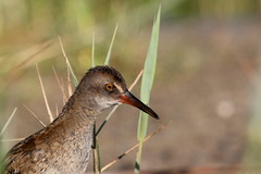 rle d'eau ( Rallus aquaticus ) Erdeven 160810zf2 (pap alain) Tags: oiseaux chassiers rallids rledeau rallusaquaticus waterrail erdeven morbihan bretagne france