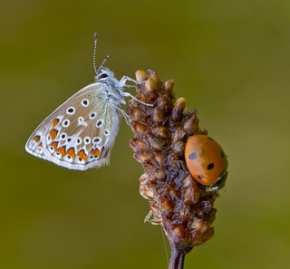 Common Blue and Ladybird, Polyommatus icarus  Coccinella Septempunctata
