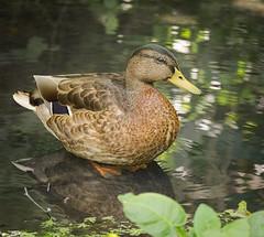 Mallard (hedera.baltica) Tags: duck mallard kaczka krzywka kaczkakrzywka anasplathyrynchos