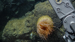 Beautiful anenome at Endeavour (Ocean Networks Canada) Tags: endeavour anenome wiringtheabyss2016