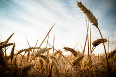Wheat in Normandie (Zeeyolq Photography) Tags: agriculture cereals environment field food france harvest nature normandie wheat