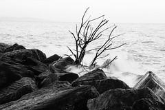 Bleak Tree (JamieHaugh) Tags: lymeregis dorset westdorset blackandwhite blackwhite monochrome outdoors sea shore rocks tree water