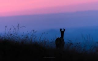 chamois enjoying the sunset