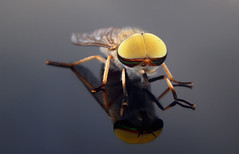 Male striped horse fly - Staten Island, New York (superpugger) Tags: insects insect stripedhorsefly malestripedhorsefly horsefly bitingfly statenislandwildlife newyorkcitywildlife lawrencepugliares lpugliares