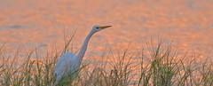 Great Egret at Dawn (Stan in FL) Tags: greategret unitedstates florida leesburg venetionparkdrive ardea alba nikon tamron birds