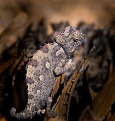 Namaqua chameleon - Chamaeleo namaquensis (loveexploring) Tags: chameleonnamaquensis namibdesert namibia namaquachameleon africa animal wildlife lizard chameleon