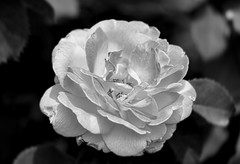 rose (Sky_PA (Catching up slowly- On/Off)) Tags: rose bokeh depthoffield blackandwhite black white monochrome amateurphotography beautiful closeup canoneos canon rebelt6i t6i leaves flower inspiredbylove lightandshadow leaf macro nature outdoor outdoors pennsylvania pa summer hershey efs55250mmf456isstm