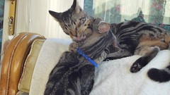 One Long Curvy Line of Black and Grey Stripes ! (Mara 1) Tags: cats kittens pets animals indoors chair white blinds tabby stripes black grey face whiskers legs paws window
