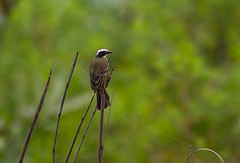 Flycatcher sp. (NikhilPatwardhan) Tags: panama socialflycatcher