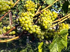 Ripe (enneafive) Tags: grapes vineyard wine ripe borgloon limburg olympus omd em5 green