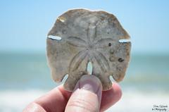Sand Dollar (photographyfun71) Tags: sanddollar nature sealife animal oceanlife beach florida marcoisland nikon d5100