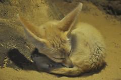 fennec fox (markusOulehla) Tags: bronxzoo nyc newyorkcity markusoulehla nikond90 citytrip thebigapple usa