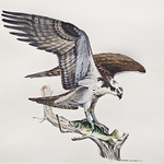 "<b>LFAC # 2015.11.01</b><br/> Christopher Cudworth, Osprey<a href=""http://farm9.static.flickr.com/8433/29859373745_609b620de9_o.jpg"" title=""High res"">∝</a>"