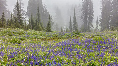 Alpine Wildflowers in the Fog (PIERRE LECLERC PHOTO) Tags: wildflowers mountrainier rainier mtrainier mountain alpine forest lupineflowers flowers nature landscape purple fog foggy scenic trees natural travel pierreleclercphotography canon5dsr