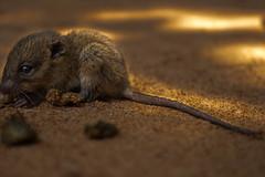 Micro mouse (jordi_s_r) Tags: mouse cambodia camboya