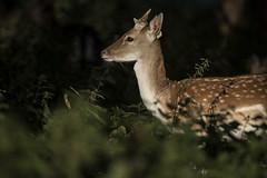 3H8A3943 (shay connolly) Tags: fallow deer dublin phoenix parl wildlife shay connolly