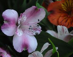 (Airton Morassi) Tags: flores flower nature fleur garden natureza flor jardim blomma bouquet bunga  blume fiore blomst decorao virg bloem blm iek  kwiat   kukka  blth cvet   kvtina kvetina astromelia
