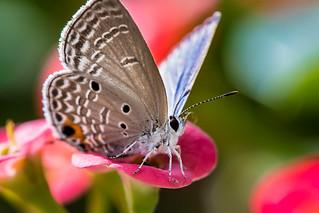 Plains Cupid 蘇鐵小灰蝶