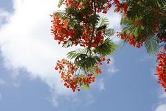 Flamboyant (goblin2601) Tags: travel red tree rot natur caribbean delonixregia flamboyant baum kuba reise karibik laubbaum flammenbaum