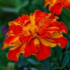 Marigold (C-Dals) Tags: orange flower nikon nikkor marigold 70300mmf4556gvr d5100 tp247