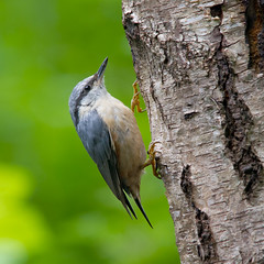 Boomklever / Nuthatch / Sitta europaea (Marcel Tuit) Tags: holland bird me nature animal canon eos wildlife nederland thenetherlands natuur 7d dieren sittaeuropaea vogel eurasiannuthatch boomklever vogelhut marceltuit