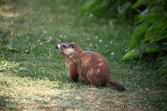 Groundhog in Toronto (bukharov) Tags: park city summer toronto ontario canada hot green beautiful grass animals botanical rodent woodchuck groundhog edwardsgardens   garden toronto       landbeaver