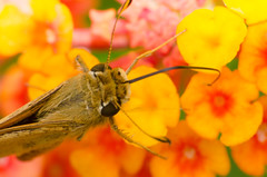 Butterfly  close-up 9 (mjustiniano1) Tags: flower color macro gardens closeup butterfly insect botanical photography fly dc washington nikon colorful vibrant moth petal bee tiny 200 micro pollen bumble antenna 70300 magnification marumi extensiontubes lensadapter achromat d7000 eyewing