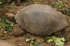 Giant Turtle (BradPerkins) Tags: travel santacruz southamerica ecuador turtle galapagos tortuga galapagosislands giantturtles galapagosnationalpark charlesdarwincenter