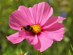 Roze Kosmos De cosmea (Cosmos bipinnatus) (Geziena) Tags: holland macro closeup insect 50mm wilde nederland natuur olympus zomer hommel bloemen roze bloem kleur korenveld e620