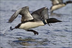 Loons takeoff (NaPix -- (Time out)) Tags: lake canada reflection nature action ngc flight final ran loon specanimal