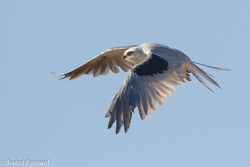 White-Tailed KIte (Explored Aug 1, 2012) - IMG_3605-2