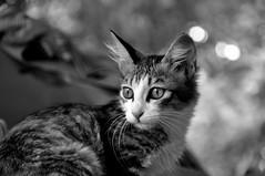 Cattitude! (@mons.always) Tags: bw pets animals cat nikon kitten bokeh kitty critters d90