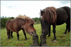 Tuppence & Blackberry - Summer 2012 (Chris Sharratt) Tags: summer miniature blackberry ponies coats tuppence shetland