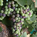 Merlot grapes during veraison