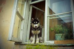 A dog in a window, Old Town, VIlnius (jev) Tags: leica dog 35mm rangefinder m8 oldtown lithuania vilnius leicam9 cosinavoigtlandernoktonclassic35mmf14sc leicaimages wwwartqcom