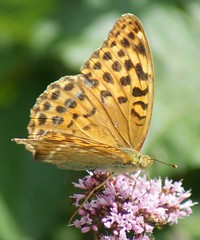 Fritillary. Explored (Paul (Barniegoog)) Tags: summer brown flower nature butterfly garden spotted fritillary