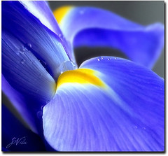 Macro droplets (PhotoArtOne) Tags: blue iris flower macro nature garden droplets perfectioninpictures masterclasselite dailynaturetnc12