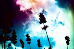 Parade (Cloni) Tags: flowers blue shadow sky film nature clouds lomo lca xpro lomography crossprocessed colours kodak dream lavender explore crossprocessing elitechrome xprocessing analouge
