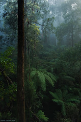 Winter's Ending (Ranga 1) Tags: morning mist fog forest bush nikon rainforest australian australia victoria gums jungle emerald acacia dandenongs dandenongranges davidyoung tokina1224mmf4 monbulk treeferns thedandenongs wattles