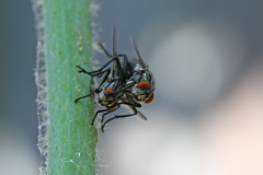 Mating flies (front view) (Ron and Co.) Tags: macro sex fly flies mating mate coupling sarcophaga fleshfly