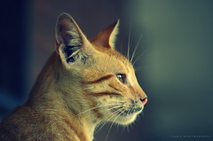 toney cat (nabilelsherif) Tags: nikon nikkor impressedbeauty 55300mmvr d5100 bestcapturesaoi mygearandme mygearandmepremium