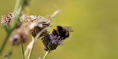 Busy Beezzzzzzzzzzzzzz. (MWBee) Tags: warrington nikon cheshire thistle bee stocktonheath mwbee me2youphotographylevel1