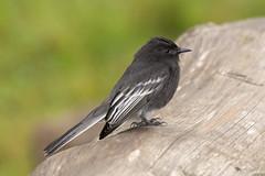Atrapamoscas Guardapuentes, Black Phoebe (Sayornis nigricans) 05 (jjarango) Tags: birding aves pajaros birdwatching colibr avesdecolombia birdingcolombia avesdecolombiaavescolombiabirdingbirdwatchingpjaros