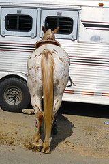7-17 Seeing Spots (uacescomm) Tags: arkansas searcyarkansas whitecountyfairgrounds 2012arkansasstate4hhorseshow