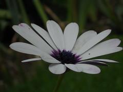 osteospermum (Miss Tinguette des Landes) Tags: nikon s3000