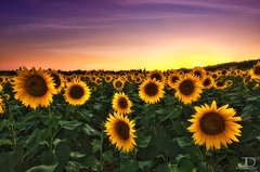 Tournesols -Sun Flowers - Saint Quentin la Poterie (JD Photographie.) Tags: light sunset sky sun love nature fleur colors field sunshine saint yellow set fleurs jaune sunrise canon landscape photography la soleil julien photographie champs sunny 200 sunflowers sunflower land 100 jd paysage dri quentin tournesol gard tournesols poterie flyaway 10mm delaval 100faves 200faves 40d 300faves canon40d mygearandme mygearandmepremium
