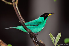 Sa Verde (Green Honeycreeper) (Carlos Incote) Tags: ngc npc blinkagain bestofblinkwinners allofnatureswildlifelevel1 allofnatureswildlifelevel2 allofnatureswildlifelevel3 allofnatureswildlifelevel4 allofnatureswildlifelevel5 allofnatureswildlifelevel8 allofnatureswildlifelevel6 allofnatureswildlifelevel7 allofnatureswildlifelevel9