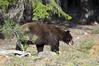 The bears are hungry! (Deby Dixon) Tags: travel tourism nature outdoors washington wildlife adventure deby allrightsreserved blackbear 2012 northcascadesnationalpark debydixon debydixonphotography