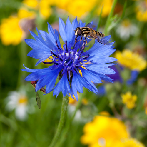 Cornflower with hoverflies